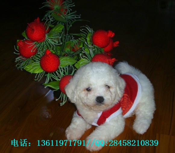 最萌_最赞_最给力的泰迪熊,萨摩耶,英斗宠物狗宝贝出售